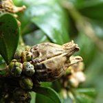 Фото 91: Коробочка самшитового дерева с семенами