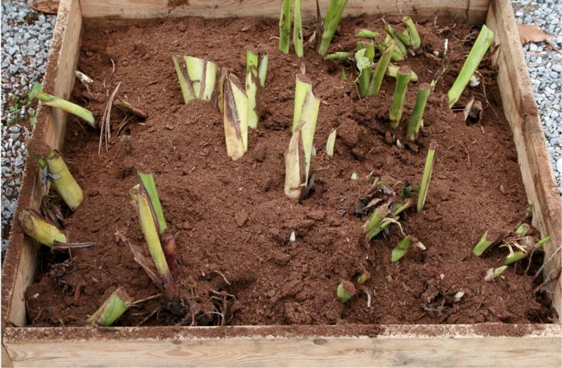 Хранение корней канны в песке в ящике