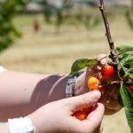 Фото 51: Сбор вишни