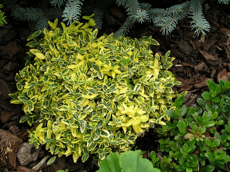 Euonymus-fortunei-Emerald-n-Gold