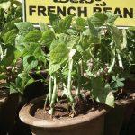 Выращивание стручковой фасоли