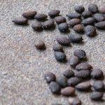Фото 37: Семена пассифлоры
