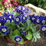 Фото 150: Primula auricula 'Old Irish Blue'