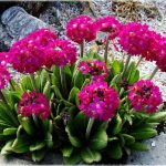 Фото 30: Primula denticulata rubin
