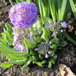 Фото 31: Выращивание примулы мелкозубчатой/denticulata