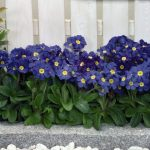 Фото 154: Primula elatior Crescendo
