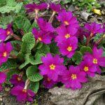 Фото 54: Primula juliae Ostergru