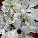 Фото 106: Листья примулы кьюськой