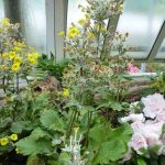 Фото 108: Primula kewensis в зимнем саду