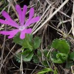 Фото 49: Primula minima Atlas Alpenflora