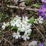 Фото 46: Primula woronowii в лесу