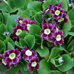 Фото 25: Primula pubescens gigantea