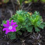 Фото 50: Primula minima Zwerg Primel