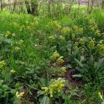 Фото 60: Весенняя примула в лесу