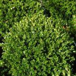 Фото 42: Самшит растение фото