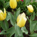 Сорт тюльпанов Sweetheart