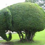 Фото 119: Топиарий слон из самшита