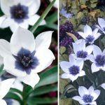 Фото 28: Сорт тюльпанов Alba Coerulea Oculata