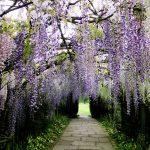 Фото 88: Тоннель из вистерии японской