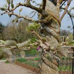 Фото 134: Вистерия весной