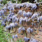 Фото 140: Wisteria sinensis Blauw