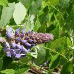 Фото 96: Появление цветов вистерии