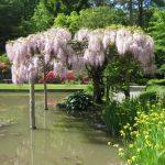 Фото 50: Глициния флорибунда в японском саду
