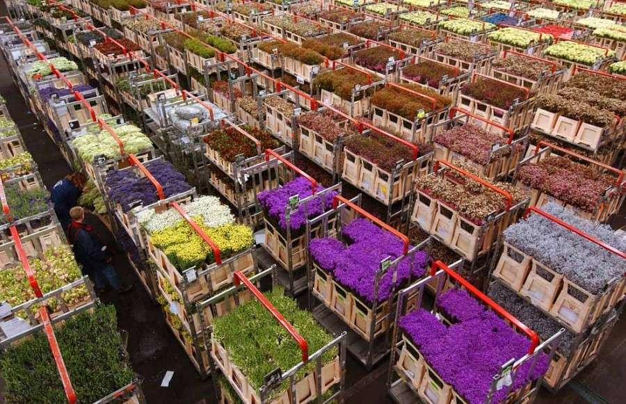 Промышленное выращивание тюльпанов