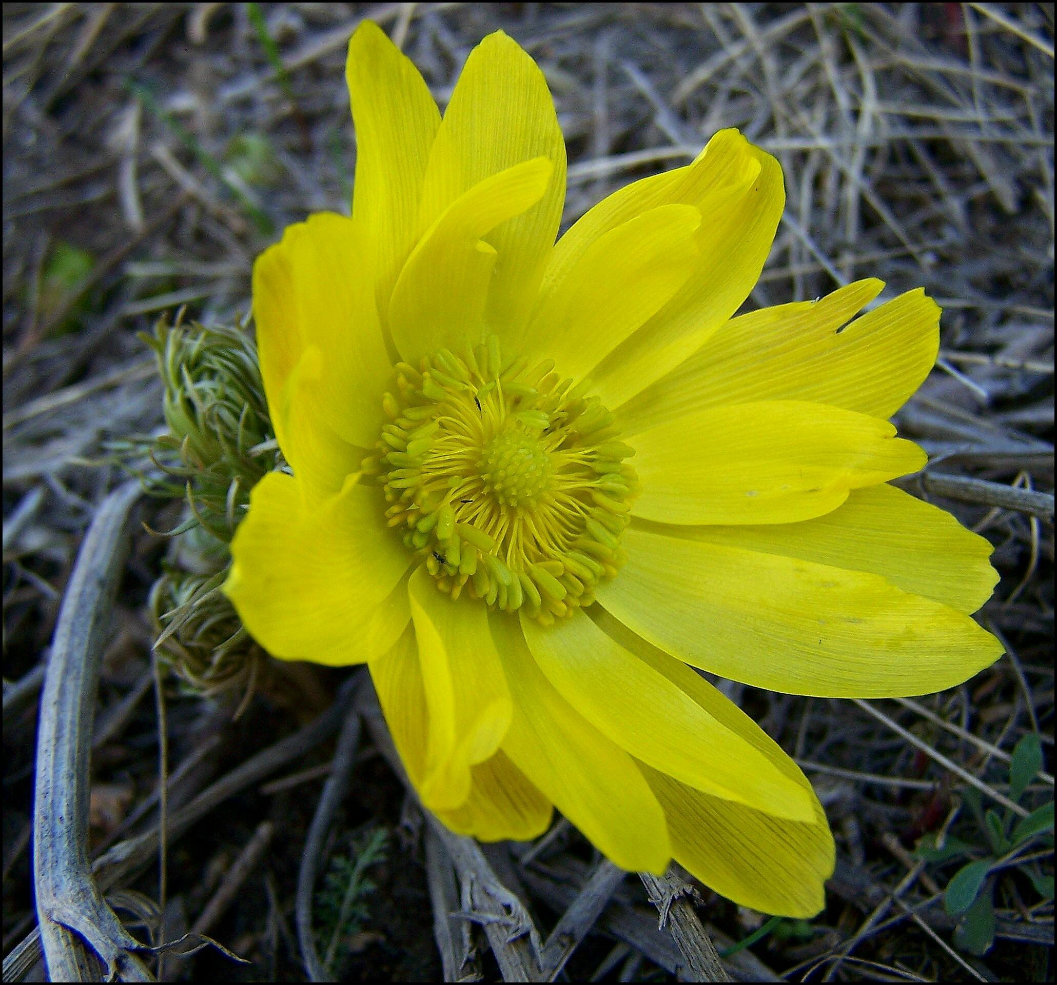 Фото 5: Красивый цветок адониса