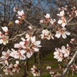 Цветение дерева миндаля