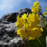 Фото 132: Альпийская примула