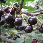 Фото 49: Антрацитовая вишня