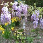 Фото 123: вистерия в горшке в саду