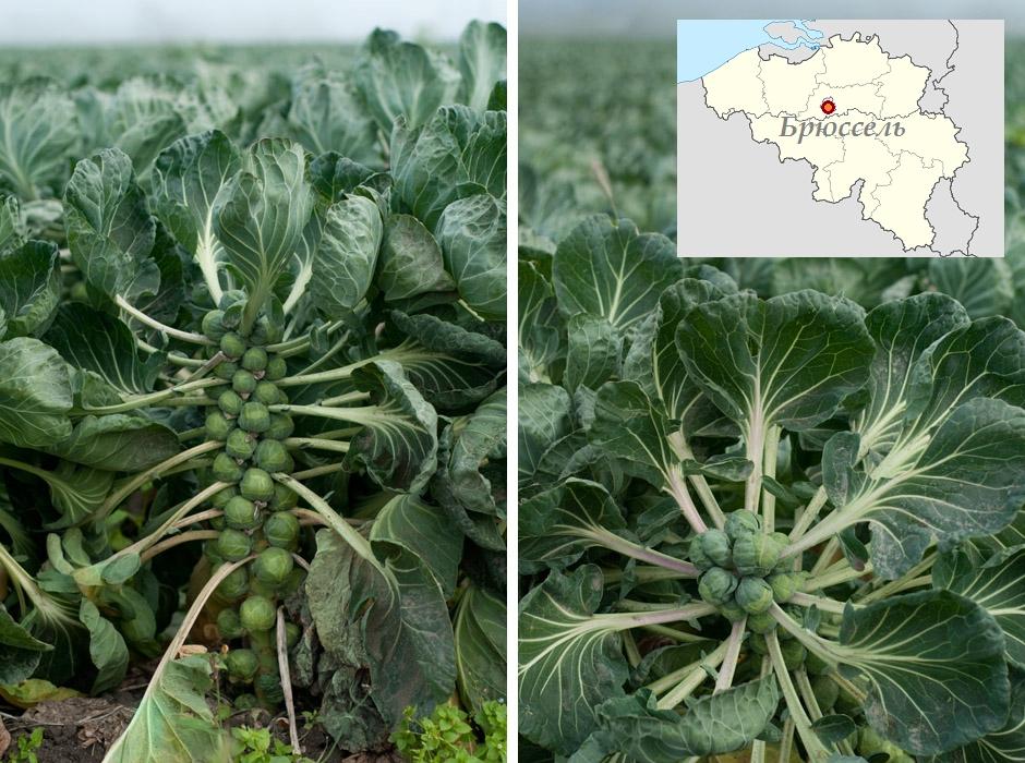 Плантация с брюссельской капустой