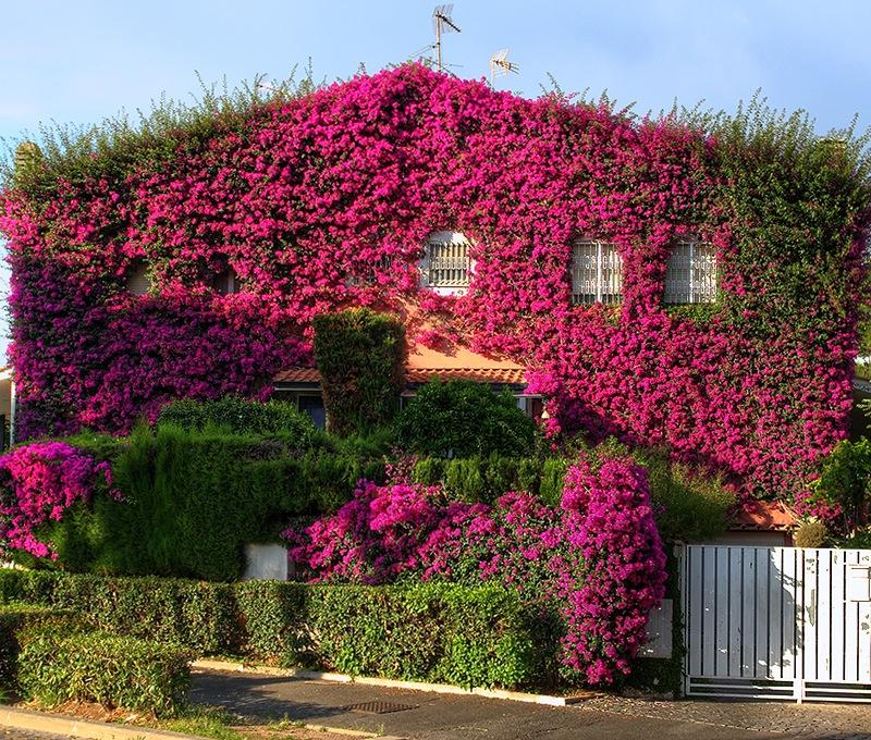 Бугенвиллея украсит любой домм