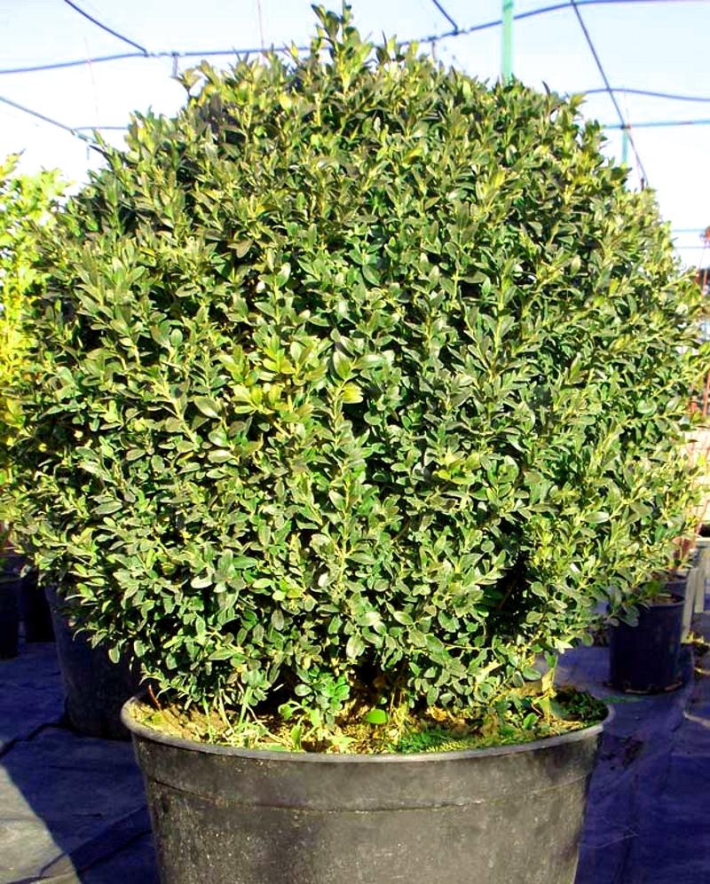 Вечнозеленый самшит