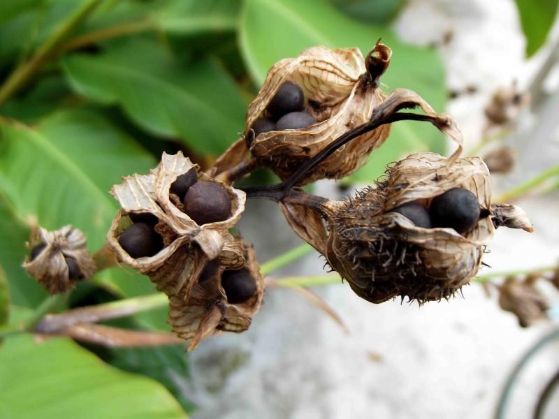 Созревание семян канны