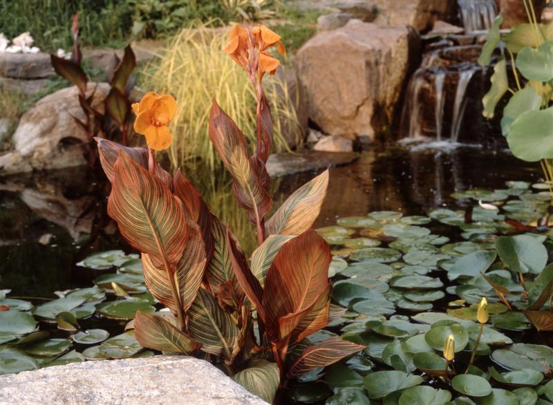 Канна Тропикана в воде