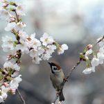 Фото 53: Цветение вишни