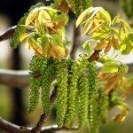 Фото 74: Цветение дерева грецкого ореха