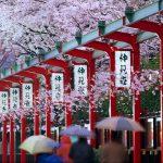 Фото 54: Цветение сакуры