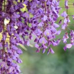 Фото 85: Цветы японской глицинии