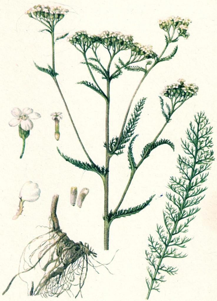 Строение растения тысячелистника
