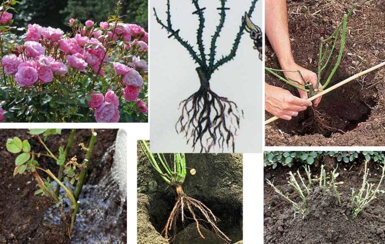 Когда сажают пионы осенью или весной 19
