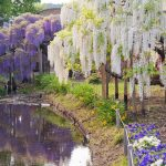 Фото 126: Глицинии в парке Асикага