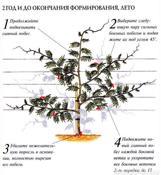 Глициния выращивание размножение 63