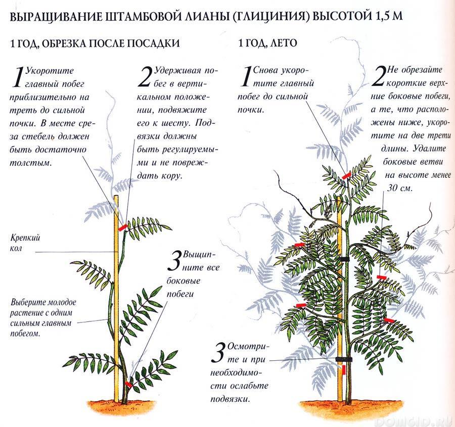 Выращивание глицинии в сибири 572
