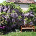 Фото 33: Глициния в саду