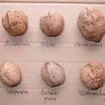Фото 76: Сорта грецкого ореха