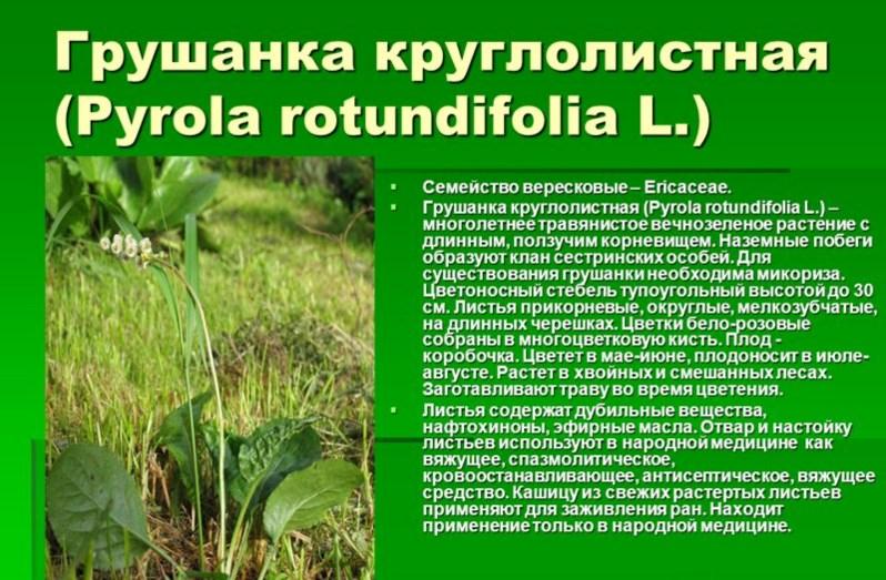 Описание растения грушанки